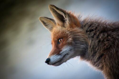 fox-4589927 1920 (1)